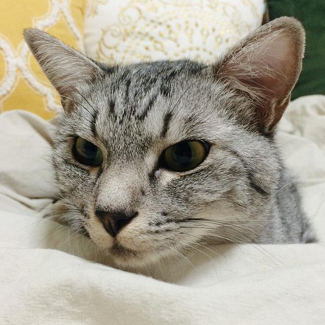 テト(サバトラ猫)の顔のアップ。