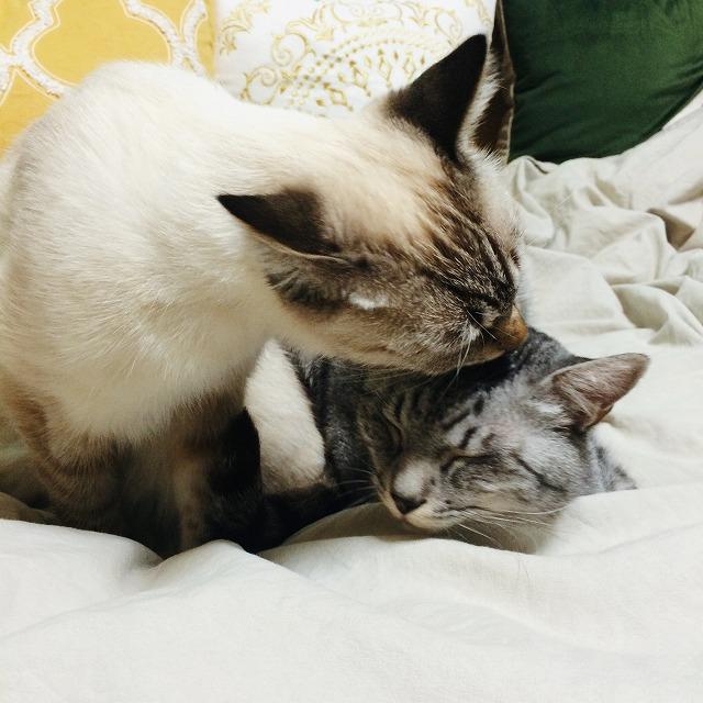 テト(サバトラ猫)の頭を舐めるムク(シャムトラ猫)。