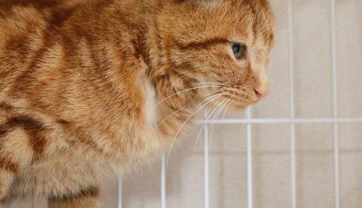 保護猫ミーちゃん、避妊手術完了