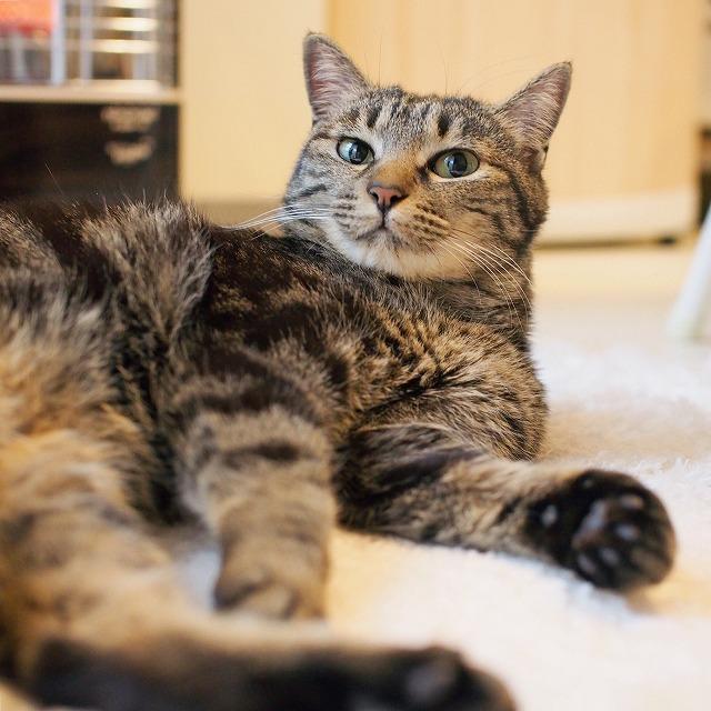 寝そべったままこちらに視線を向けるキジトラ猫の写真。