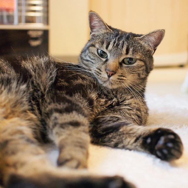 少し不満気にこちらを睨んでいるような表情のキジトラ猫の写真。