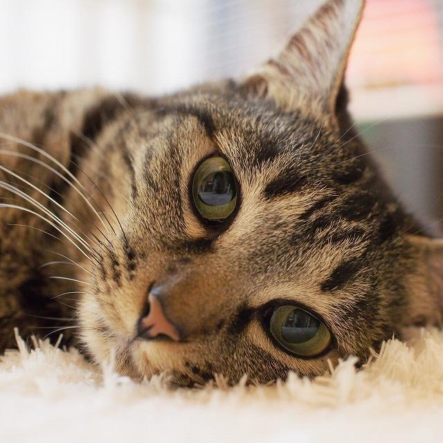 丸い目でこちらを見つめるキジトラ猫の顔のアップ写真。