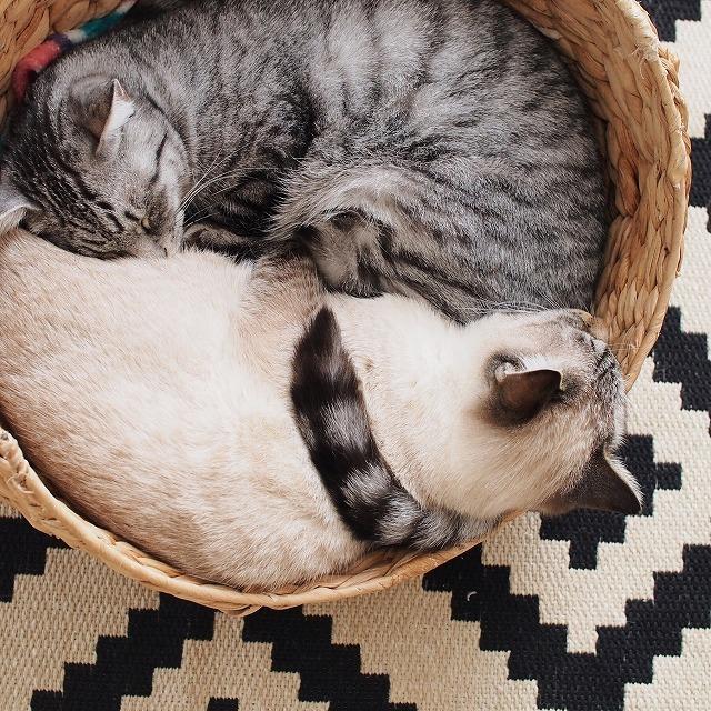 寝ているシャムトラ猫の肩にサバトラ猫のしっぽがくるりと巻き付いています。