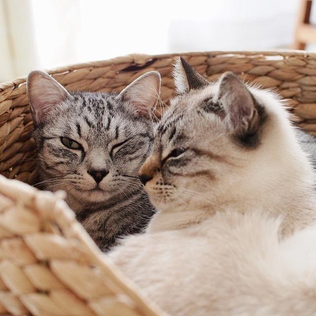 ウィンクしているサバトラ猫と、眠たそうなシャムトラ猫の横顔。