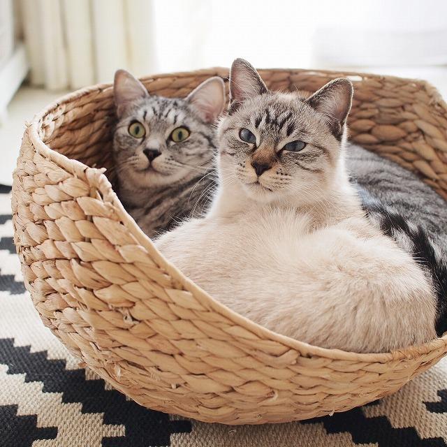 籠の中から揃ってこっちを見ているサバトラ猫とシャムトラ猫。