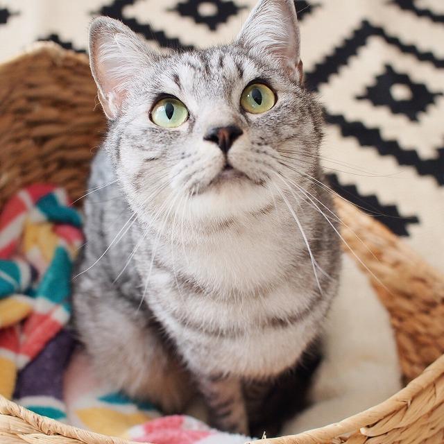 サバトラ猫の顔から胸にかけての写真。
