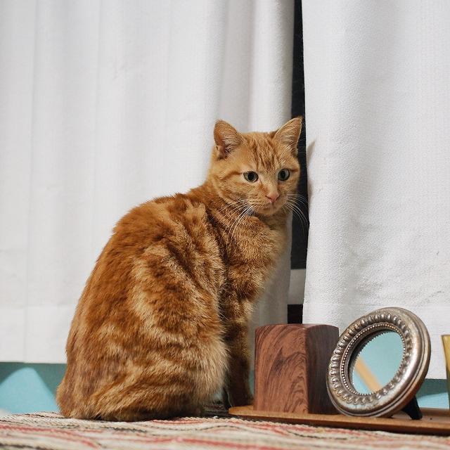 人間の気配を察知してカーテンの裏に隠れようとしている茶トラ猫。