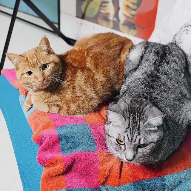 お尻とお尻をくっつけて座椅子の上で香箱を組んでいる茶トラ猫とサバトラ猫。