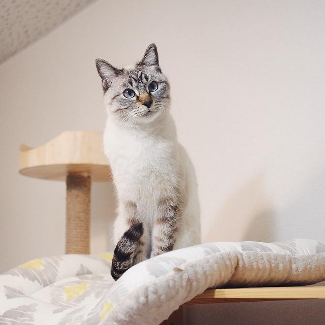 棚の上に登ったシャムトラ猫。
