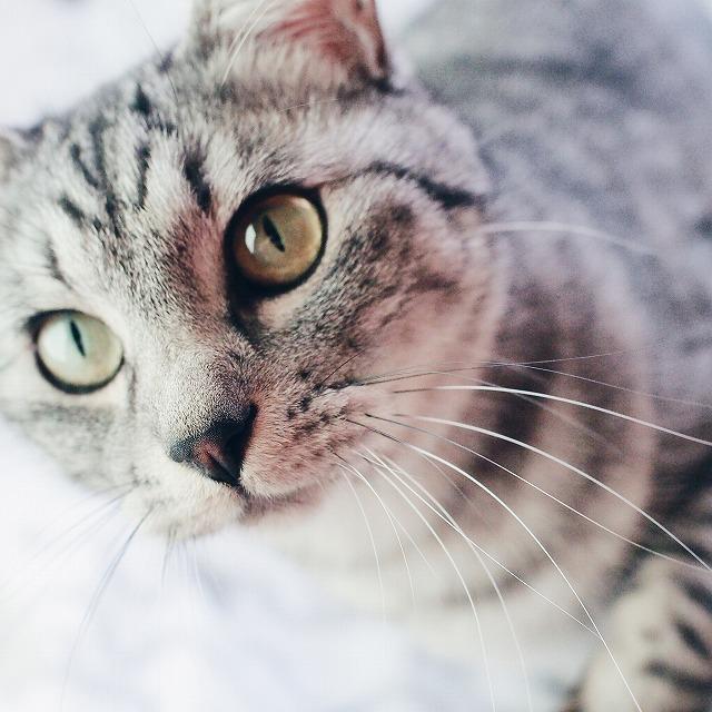 おもちゃを狙って、猫パンチをしようと構えているサバトラ猫の顔のアップ。