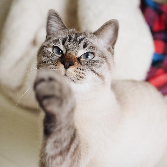 おもちゃを狙って猫パンチしようとするシャムトラ猫。