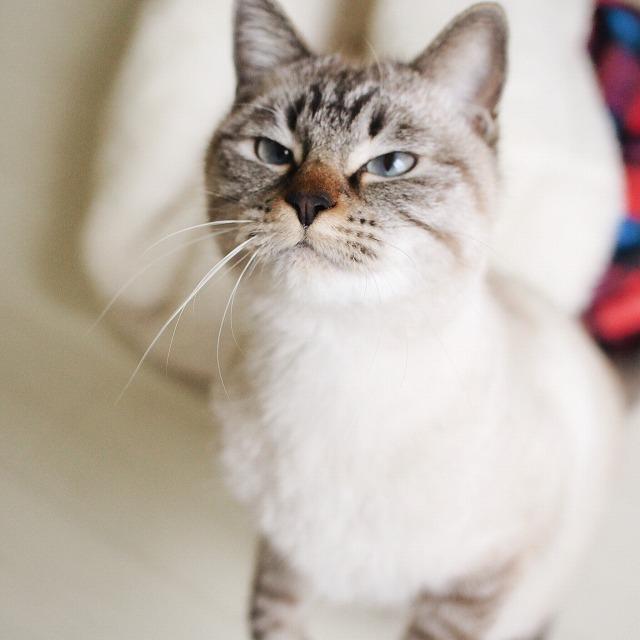 目を細めてムスッとした表情のシャムトラ猫。