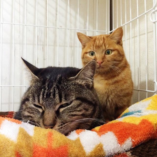 薄目をあけているキジトラ猫と、その後ろにいる茶トラ猫。