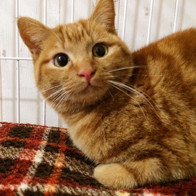 茶トラ猫の顔のアップの写真。