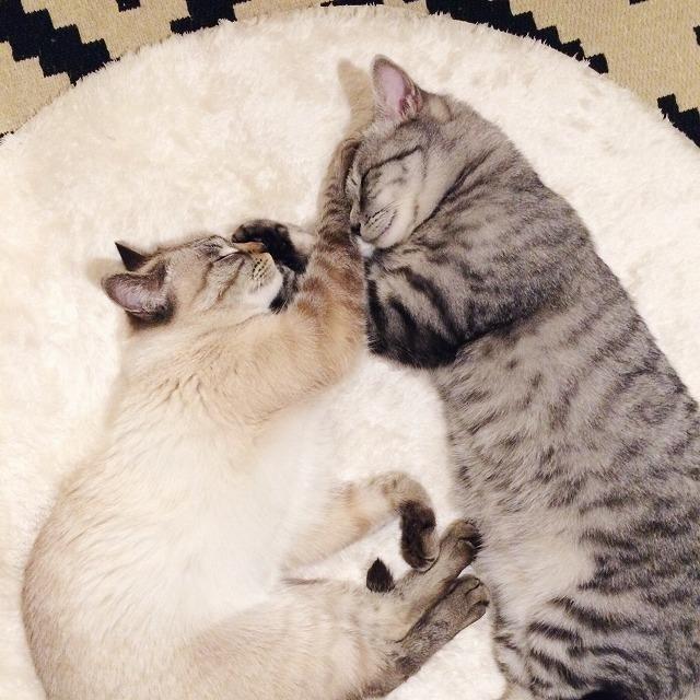 お互いの前脚を相手のおでこに乗せたまま並んで寝ているサバトラ猫とシャムトラ猫。