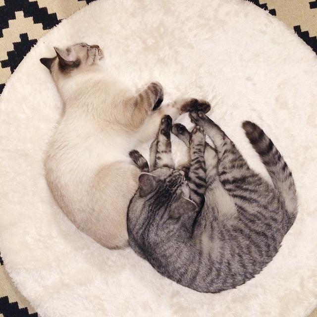 シャムトラ猫のお尻をまくら代わりにして寝そべっているサバトラ猫。2匹を真上から撮った写真。