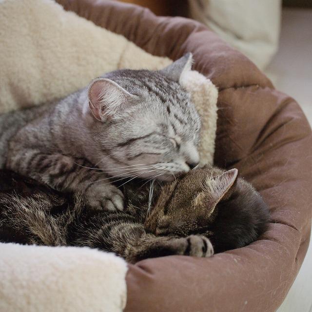 キジトラ猫のほっぺたにキスするサバトラ猫。