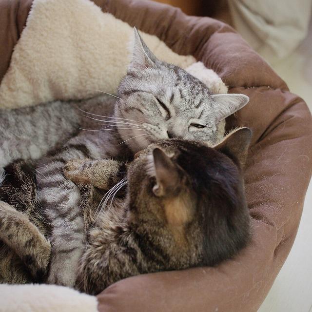 さらに毛づくろいしてあげようとするサバトラ猫と、ちょっと嫌がってるキジトラ猫。