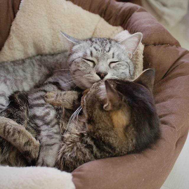 しつこいサバトラ猫。