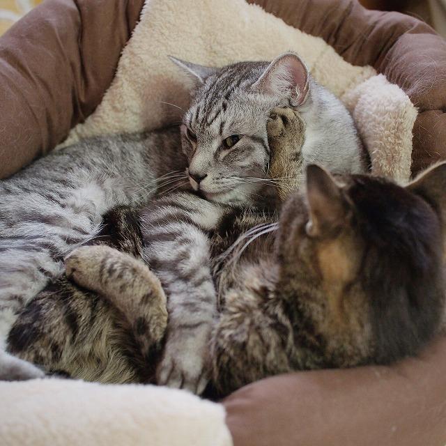 怒ってサバトラ猫の頭に一撃お見舞いするキジトラ猫。