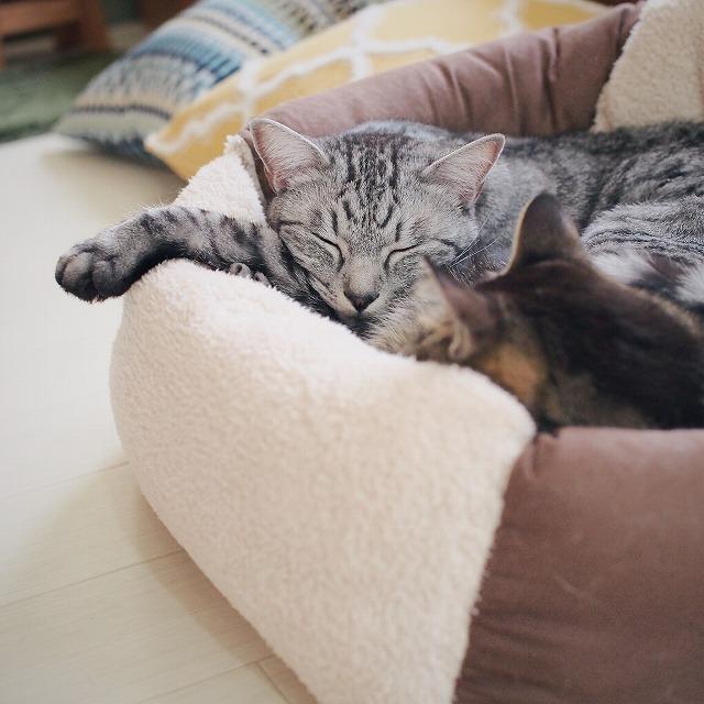 キジトラ猫の隣で眠るサバトラ猫。