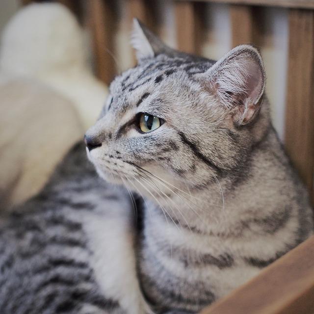 少し斜めを向いたサバトラ猫の横顔。目力があってイケメンです。
