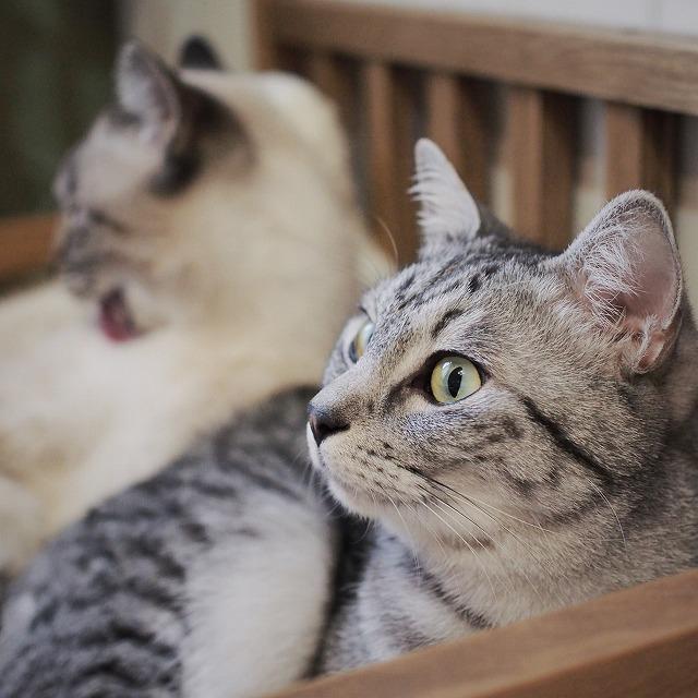 斜め上から撮ったサバトラ猫の写真。