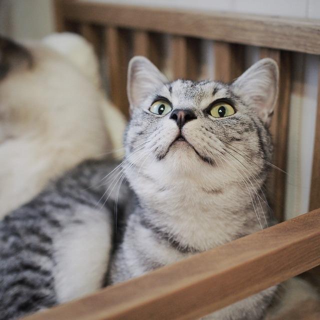 鼻を上げて得意げな表情のサバトラ猫。