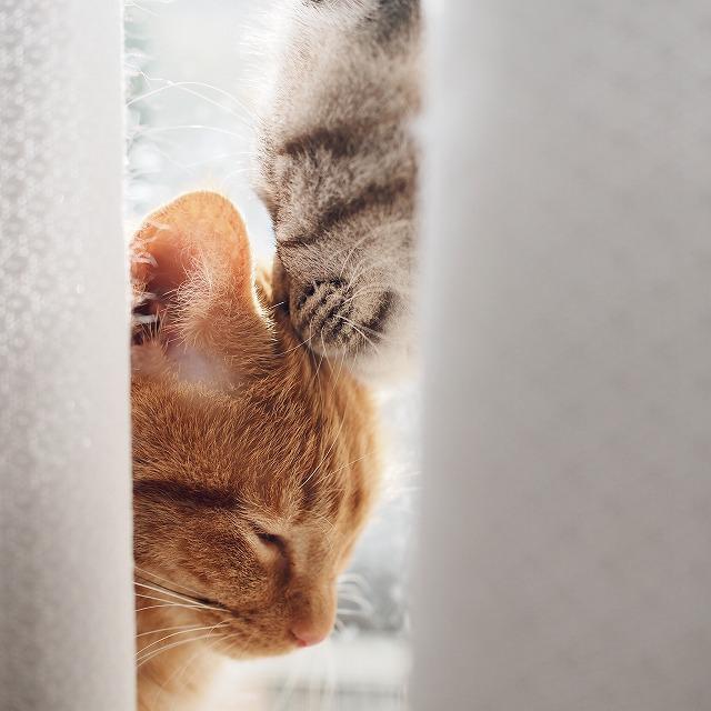 茶トラ猫のおでこに鼻をくっつけているシャムトラ猫。