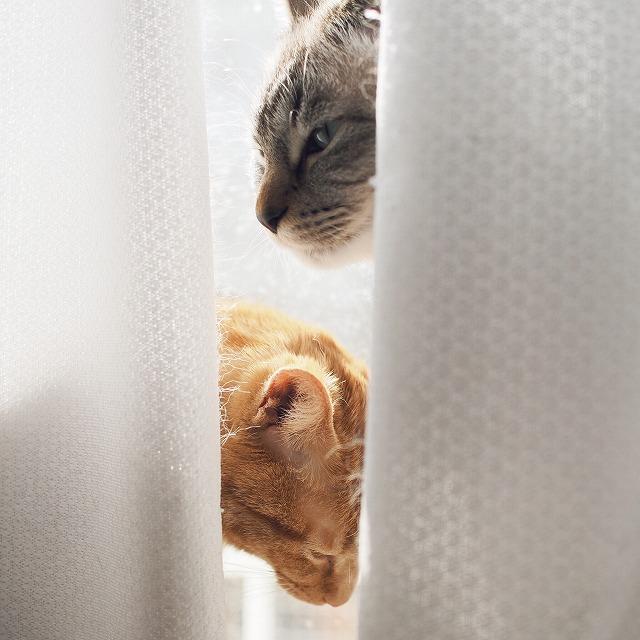 盗撮しているこちらに気付いた様子のシャムトラ猫。茶トラ猫は下を向いている。