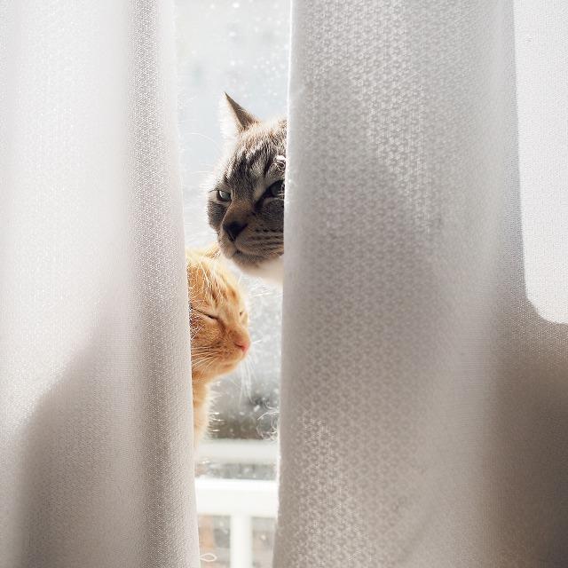 レースカーテンの裏からこちらを見ているシャムトラ猫。茶トラ猫は目をつむっている。