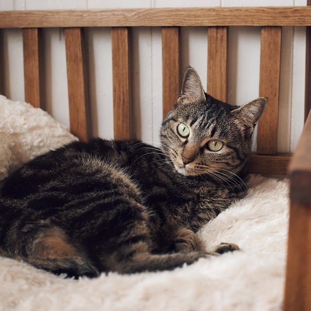 寝転んだまま、少し小首をかしげてこちらを見ているキジトラ猫。