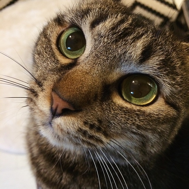 普通にしているときのキジトラ猫の顔のアップ。瞳がまん丸で緑色のビー玉のようにきれいです。