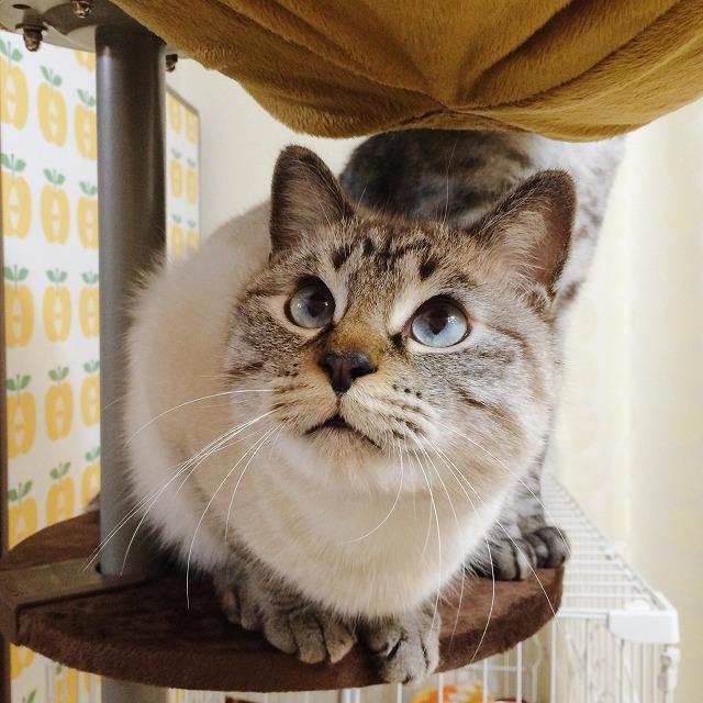 ハンモックの下で上目遣いをするまん丸顔のシャムトラ猫。