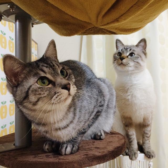 ハンモックの下にサバトラ猫。シャムトラ猫はケージの上からハンモックを見ている。