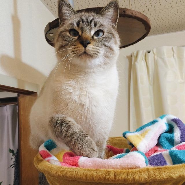 ハンモックのふちに手をかけているシャムトラ猫。