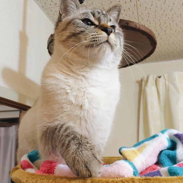 マズルから胸元が真っ白でふかふかなシャムトラ猫。