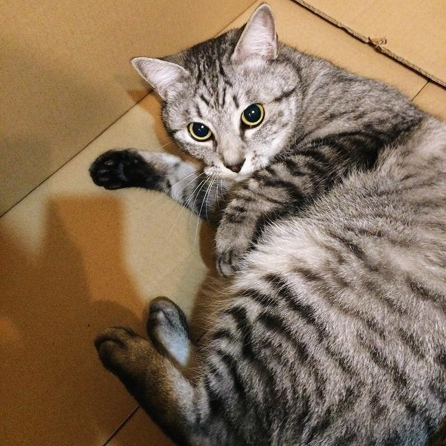 段ボール箱の中に寝そべるサバトラ猫。