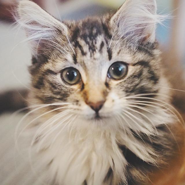 ノルウェージャンフォレストキャット(ブラウンタビー&ホワイト)の子猫ノエル。