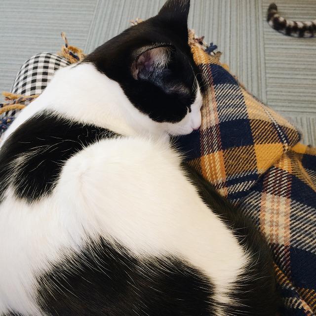 わたしの膝の上で丸くなって寝ている白黒猫のロック。