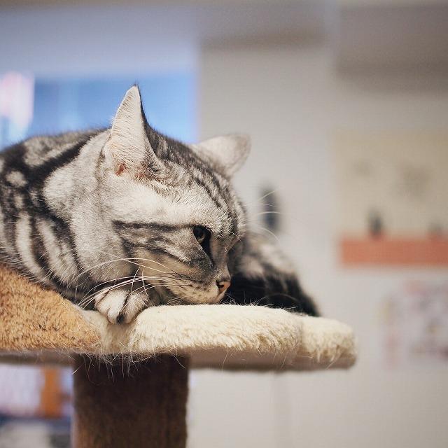 キャットタワーの上で丸まって寝ているアメリカンショートヘアー(シルバータビー)のサラ店長。