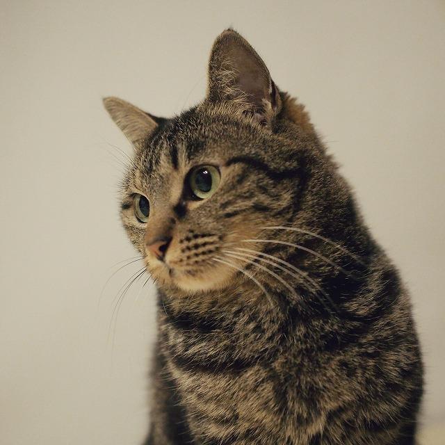 キジトラ猫の胸から上を写した写真。