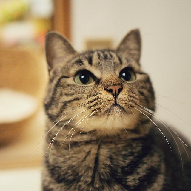 丸い目をして少し上を見上げているキジトラ猫。