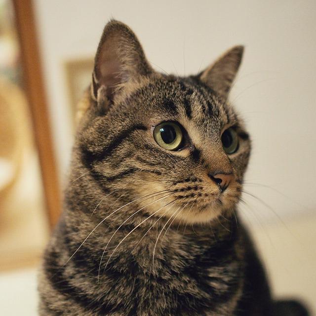 ちょっと横を向いたキジトラ猫。
