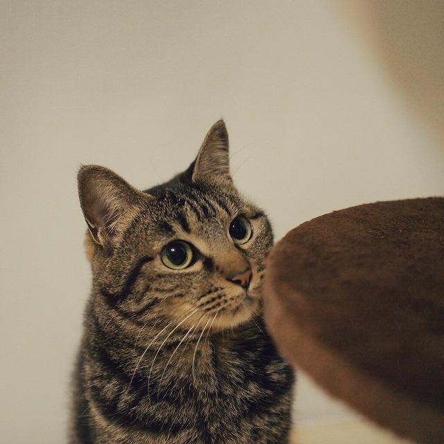 座って見ているだけで、キャットポールに登らないキジトラ猫。