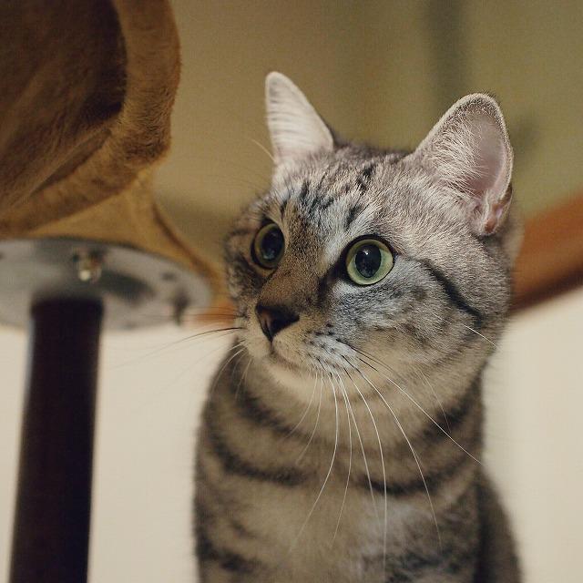 キャットポールに登って何かを見ているサバトラ猫。