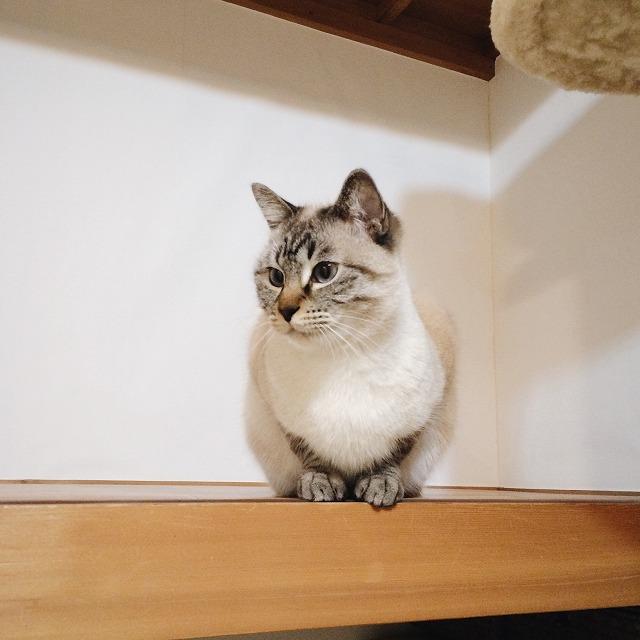 押入れの上段にちょこんと座っているシャムトラ猫。