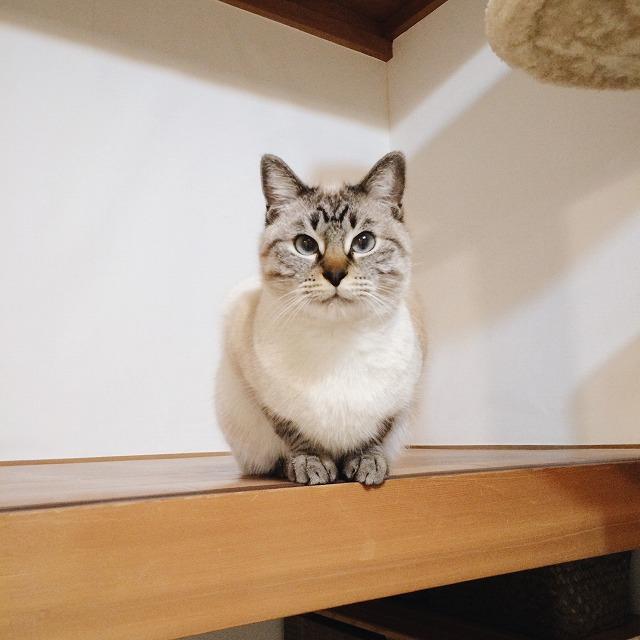こちらを見ているシャムトラ猫。