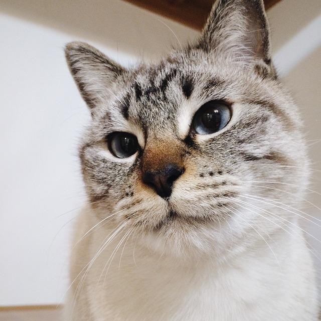 シャムトラ猫の顔のアップ。