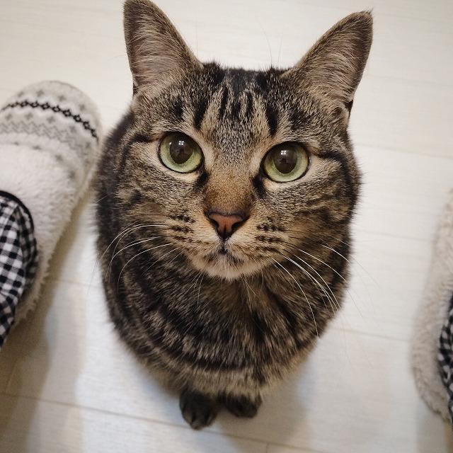 飼い主の足元に座ってこちらを見上げているキジトラ猫。